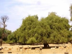 mustard-tree